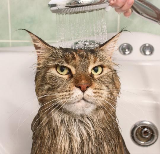 Lavare e tosare il gatto