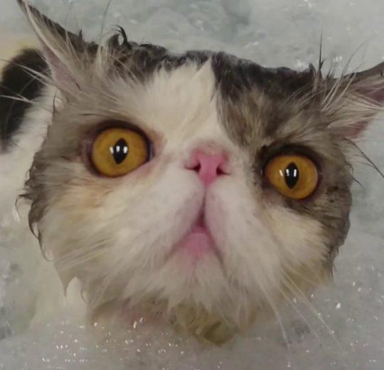 Lavare un gatto