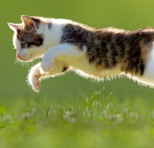 Microchip gatto
